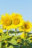 Drie gele zonnebloemen tegen de blauwe hemel Royalty-vrije Stock Foto