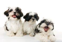 Drie Gelukkige Puppy Royalty-vrije Stock Fotografie