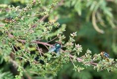 Drie Gemeenschappelijke Groene Flessenvliegen op een tak stock fotografie