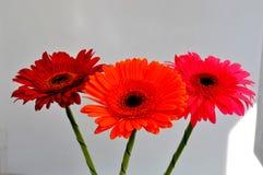 Drie gerberabloemen tegen een witte muur royalty-vrije stock afbeeldingen