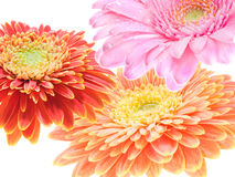 Drie gerberas overlap. Three colorful gerbera flowers overlapping each other Royalty Free Stock Photos