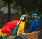 Drie geredde die papegaaien op een bank in een park worden neergestreken Stock Foto