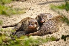Drie gestreepte mongoezen huddled samen in het woestijnzand royalty-vrije stock fotografie