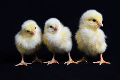 Drie Gezonde Kippen Zwarte Achtergrond Stock Foto