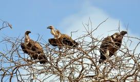 Drie gieren Stock Fotografie