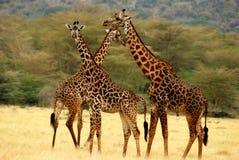 Drie giraffen Stock Afbeeldingen