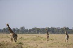 Drie Giraffen die op de vlaktes van Masai Mara lopen Royalty-vrije Stock Afbeelding