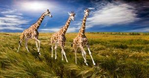 Drie giraffen die op het gebied in werking worden gesteld stock fotografie
