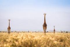 Drie giraffen die op savanne lopen Stock Foto