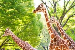 Drie giraffen in een park Royalty-vrije Stock Foto's
