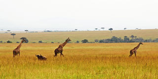 Drie giraffen in een rij Royalty-vrije Stock Foto