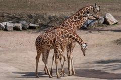 Drie giraffen in het droge landschap Royalty-vrije Stock Foto