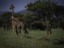 Drie giraffen in het Nationale Park van Serengeti, Tanzania, Afrika royalty-vrije stock foto