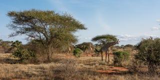 Drie giraffen lopen in de steppe Royalty-vrije Stock Afbeeldingen
