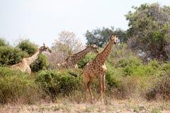 Drie giraffen op geel gras, groene bomen en blauwe hemel dichte omhooggaand als achtergrond in het Nationale Park van Chobe, safa stock foto
