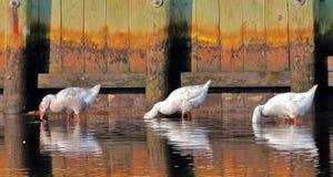 Drie Gooses het voeden royalty-vrije stock foto