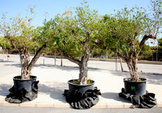 Drie granaatappelbomen royalty-vrije stock afbeelding