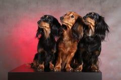 Drie grappige honden Royalty-vrije Stock Fotografie