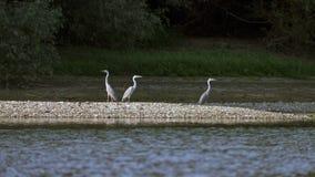 Drie Grey Herons die op de zandbank neerstrijken royalty-vrije stock fotografie
