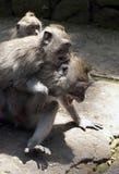 Drie grijs macaquesspel op de weg in het aapbos in Bal Royalty-vrije Stock Afbeeldingen