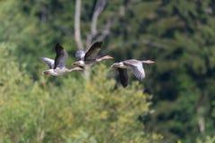 Drie grijze ganzen die anser anser met bos op achtergrond vliegen Royalty-vrije Stock Fotografie