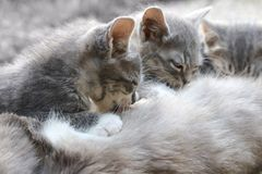 Drie grijze leuke babykatten zuigt moeder Royalty-vrije Stock Afbeelding