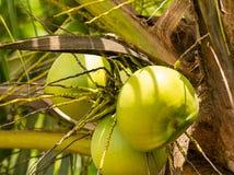 Drie groen kokosnotenfruit op een palmclose-up, rond fruit stock fotografie