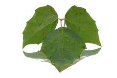 Drie groene bladeren Royalty-vrije Stock Fotografie