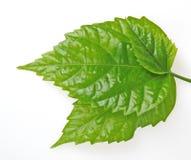 Drie groene bladeren stock foto
