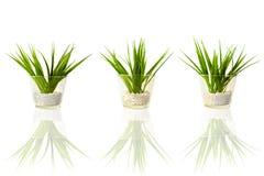 Drie groene installaties Stock Afbeelding