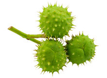 Drie groene kastanjes Royalty-vrije Stock Foto's
