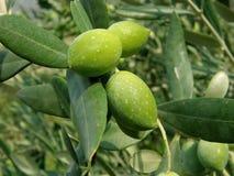 Drie groene olijven op de tak Royalty-vrije Stock Afbeelding