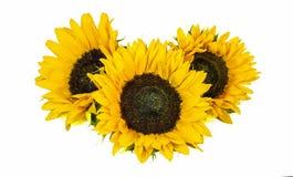 Drie Grote Gele die Zonnebloemen op witte Achtergrond worden geïsoleerd De recente Zomer en Autumn Flowers stock foto