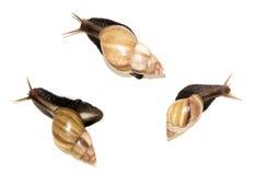 Drie grote slakken op wit Royalty-vrije Stock Foto