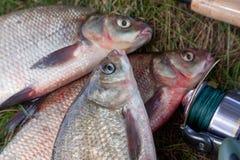 Drie grote zoetwater gemeenschappelijke brasemvissen en hengel met spoel stock afbeeldingen