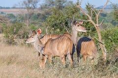 Drie grotere kudukoeien en rood-gefactureerd oxpecker royalty-vrije stock foto