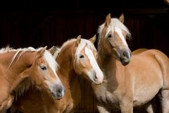Drie Haflinger op zwarte achtergrond Royalty-vrije Stock Foto's