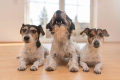 Drie hefboom Russell ligt op de vloer in de flat Één van hen gehuil en gejank stock fotografie