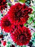 Drie heldere rode bloemen in de tuin royalty-vrije stock afbeeldingen