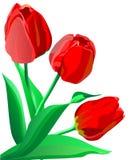 Drie heldere rode bloementulpen met groene bladeren Royalty-vrije Stock Afbeeldingen