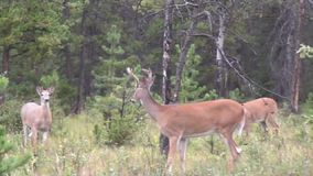 Drie herten in het bos stock video
