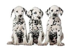 Drie het Dalmatische puppy zitten Stock Fotografie