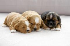 Drie het kleine puppy nestelen zich Stock Afbeelding
