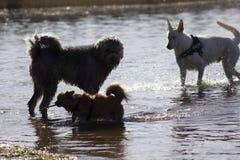 Drie het lopen honden Royalty-vrije Stock Afbeelding
