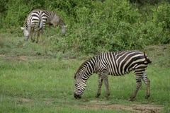Drie het weiden Zebras in Afrika Royalty-vrije Stock Afbeeldingen