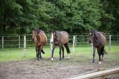 Drie Holsteiner-paarden Royalty-vrije Stock Foto