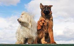 Drie honden royalty-vrije stock afbeeldingen