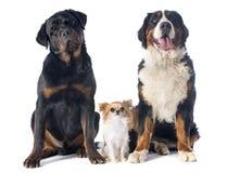 Drie honden stock foto's