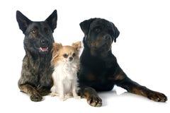 Drie honden Royalty-vrije Stock Fotografie