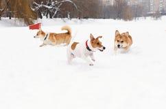 Drie honden die in honds vriendschappelijk van leibandpark spelen stock afbeelding